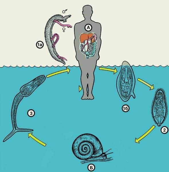 Шистосомоз - schistosomiasis - qwe.wiki
