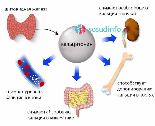 Что такое гормон кальцитонин и каковы причины повышения или понижения его уровня в крови