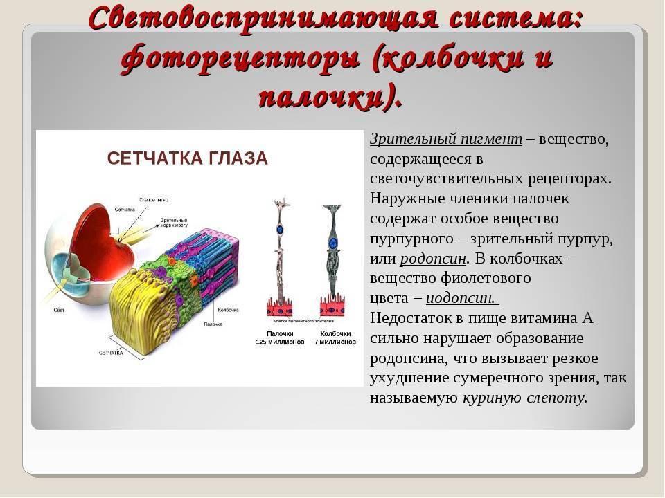 Скотопическая система сетчатки ( ночное зрение ). фотопическая система сетчатки ( дневное зрение ). колбочки и палочки сетчатки. родопсин.