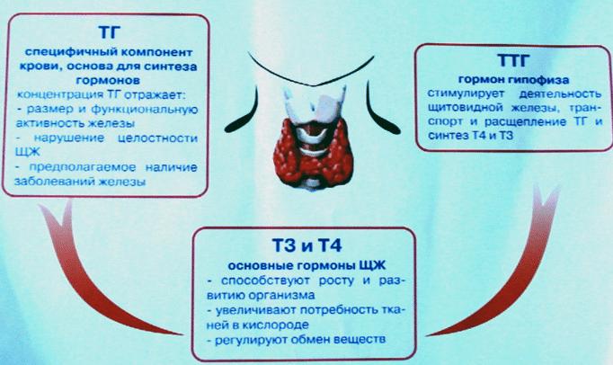 Симптомы и клинические признаки повышения ттг у женщин