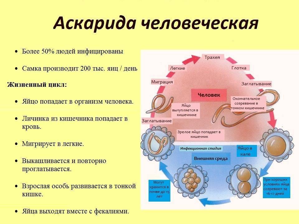 Аскаридоз у детей - симптомы, лечение и профилактика