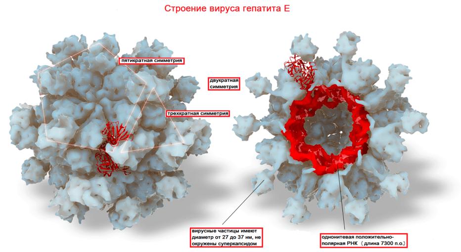 Вирусные гепатиты а и е