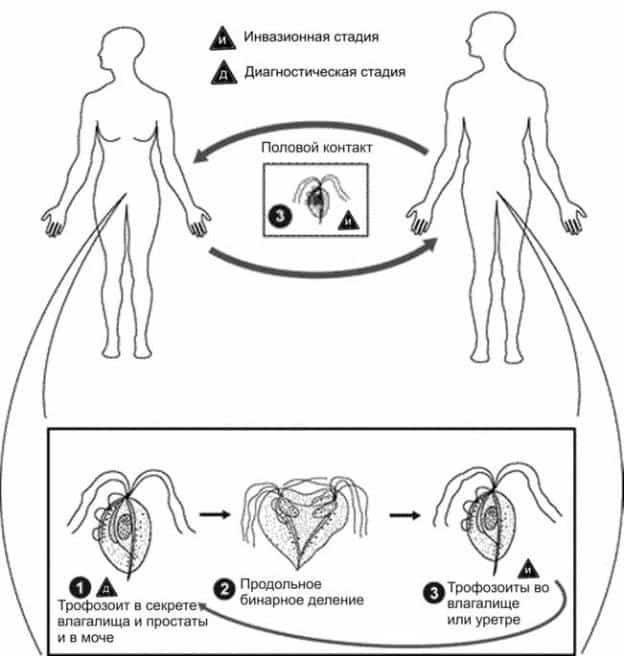 Что такое заболевание трихомониаз у человека, как передается и чем опасен