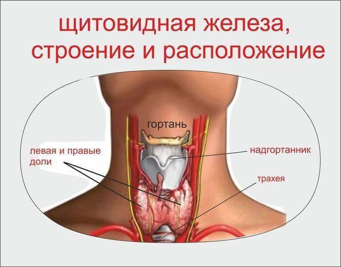 Где в организме человека располагается щитовидная железа