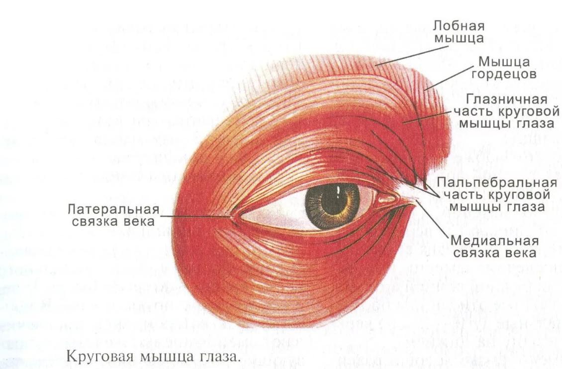 Анатомия мышц глазного яблока человека - информация: