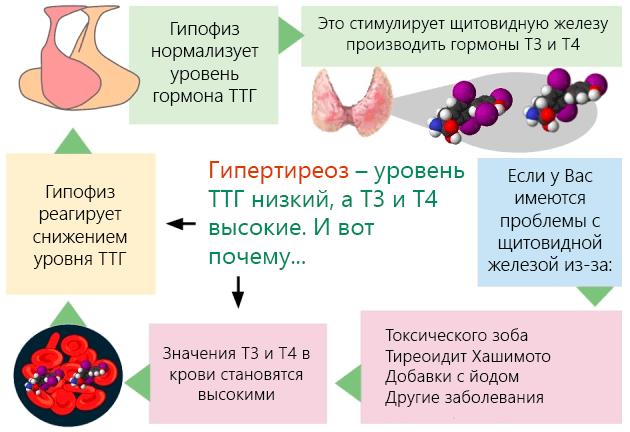 Т4 свободный: что это за гормон, за что отвечает у женщин и мужчин