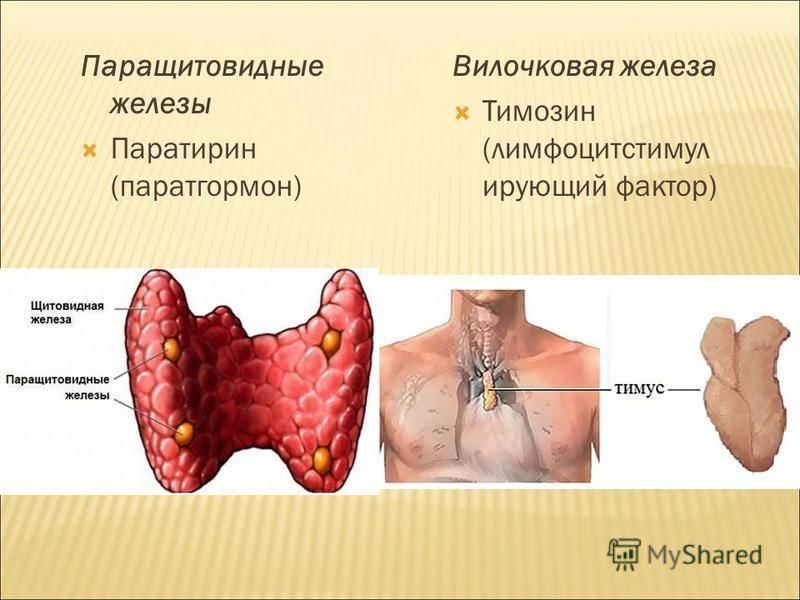 Паращитовидная железа: анатомические особенности, ключевые аспекты физиологии, возможные патологии и способы избежать болезни