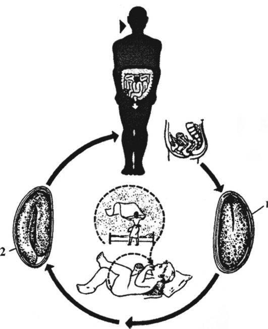 Сколько живут острицы в организме человека, жизненный цикл, развитие