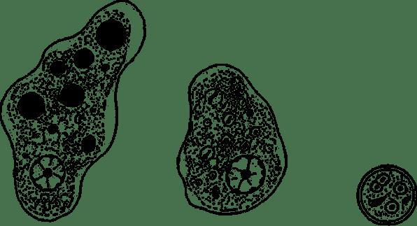 Профилактика и меры предупреждения дизентерийной амебы