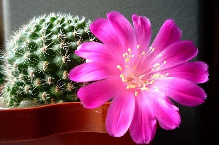 Кактус от псориаза: как можно использовать это растение в домашних условиях?
