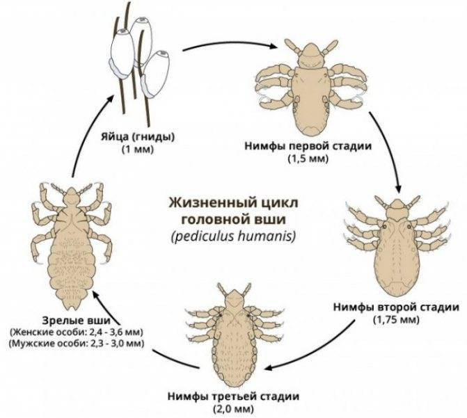 Что такое инкубационный период гнид и вшей и сколько он длится?