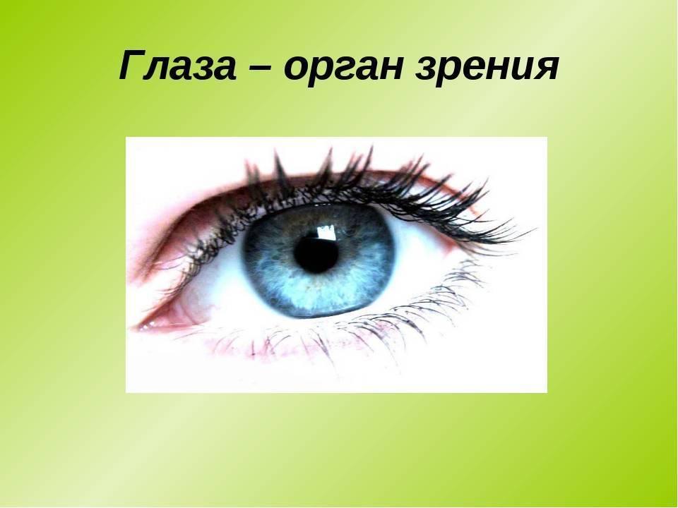 развитие органа зрения