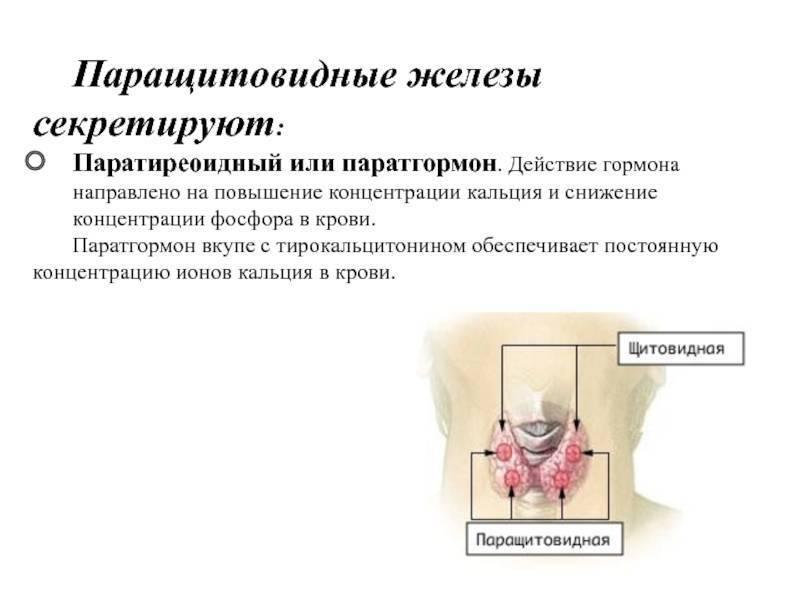 Паращитовидная железа – особенности строения и методы устранения расстройств