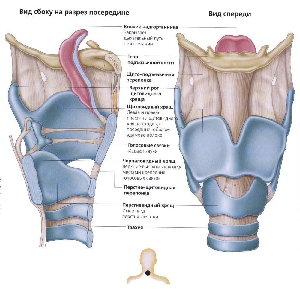 схема горла человека