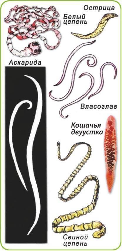 Какие бывают глисты у человека, какие гельминты живут?