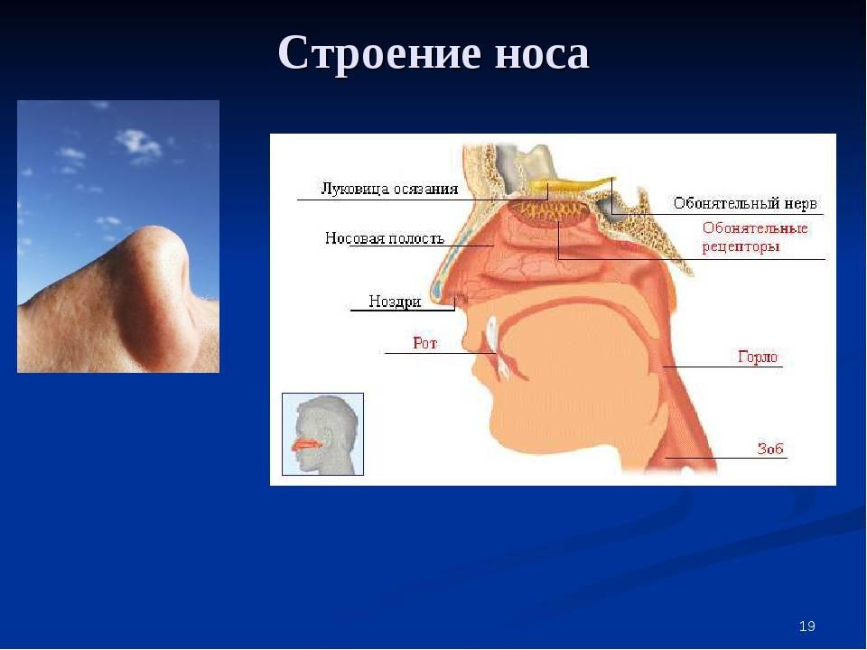 Схема носовой полости человека. строение носа человека: особенности и основные функции органа. анатомия носа: фото.