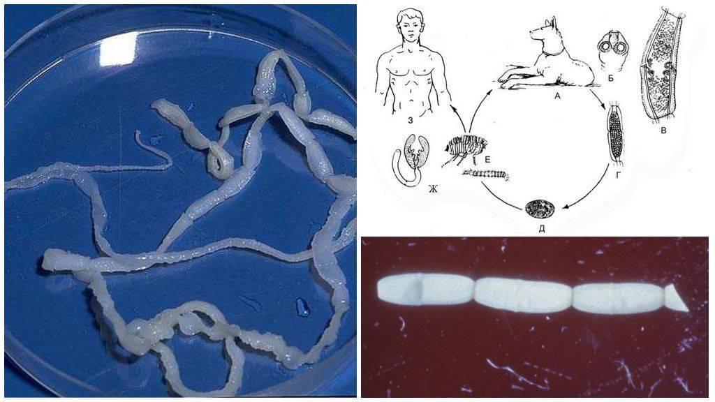 Огуречный цепень – симптомы паразитирования, заражение, как предотвратить дипилидиоз