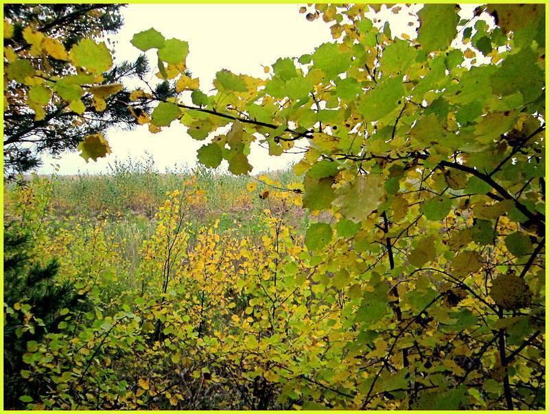 лечение геморроя осиновыми листьями