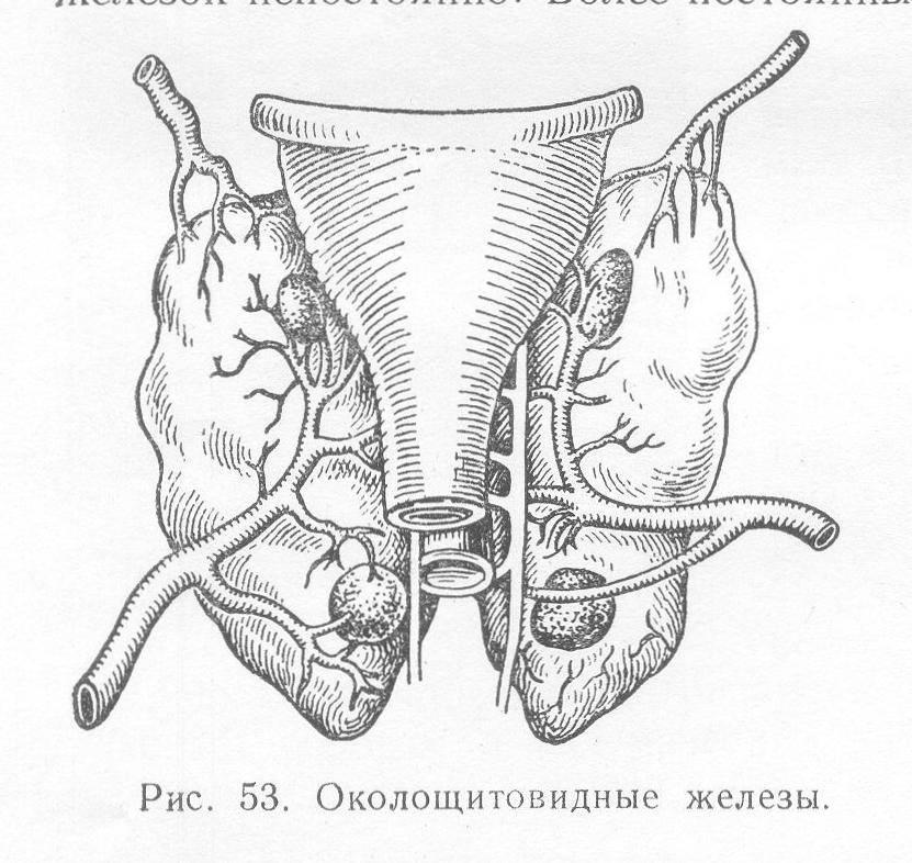 Какие функции выполняет паращитовидная железа: гормоны, их функции в организме, патологии, лечение