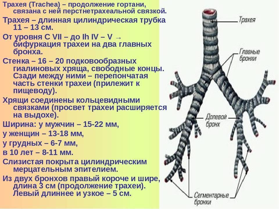 из чего состоит трахея