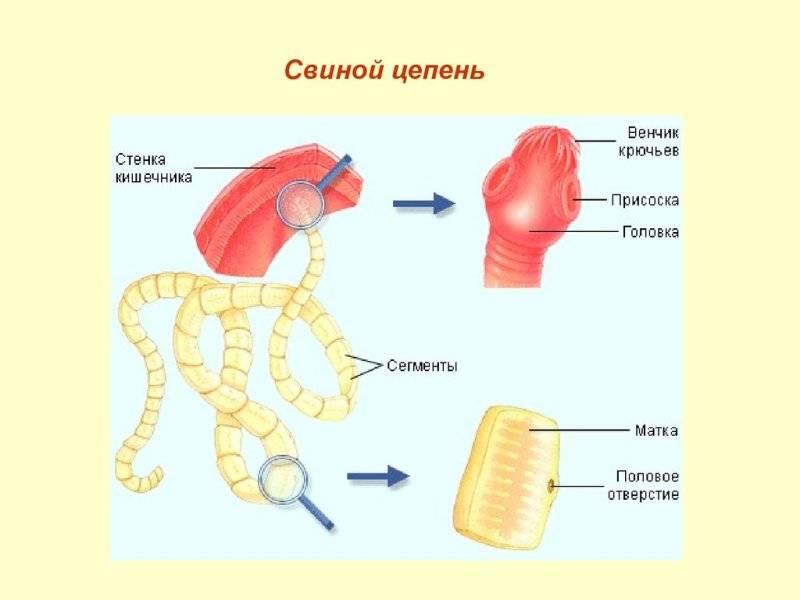 Свиной цепень (солитер) – строение, жизненный цикл свиного цепня, симптомы у человека, лечение тениоза