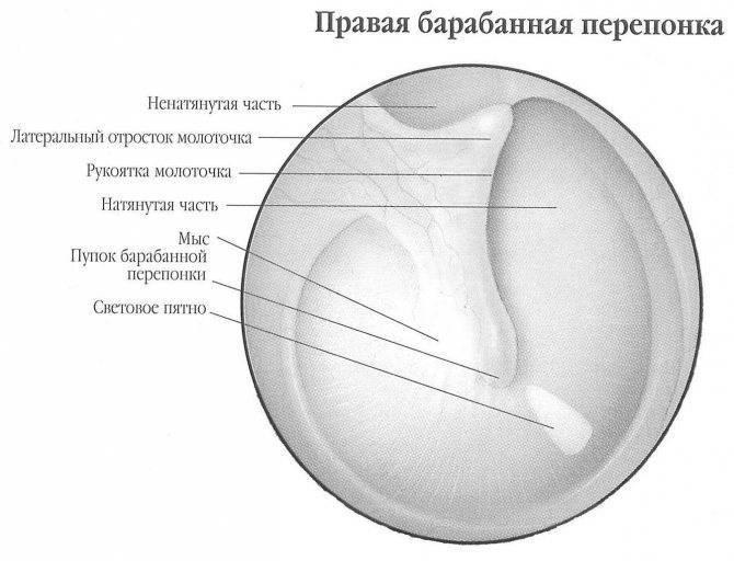 Барабанная перепонка — большая медицинская энциклопедия