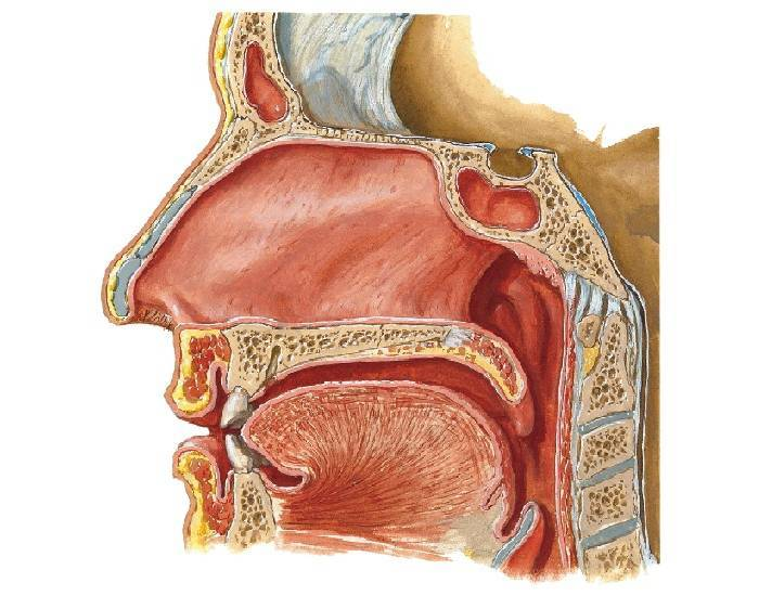 полость носа строение