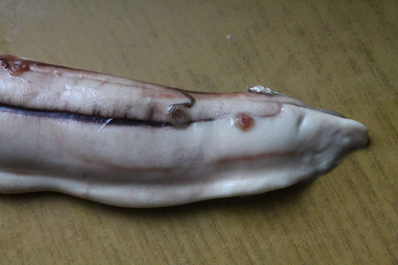 Солитер в рыбе - опасен ли он для человека, можно ли есть зараженную рыбу