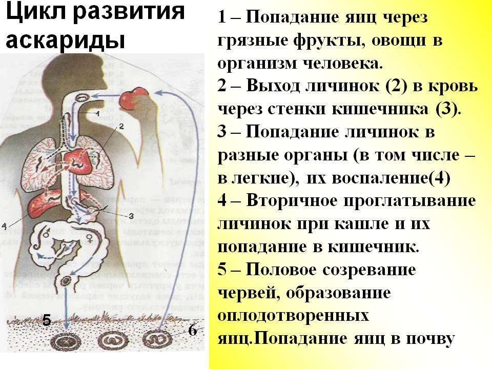 Человеческая аскарида — википедия с видео // wiki 2