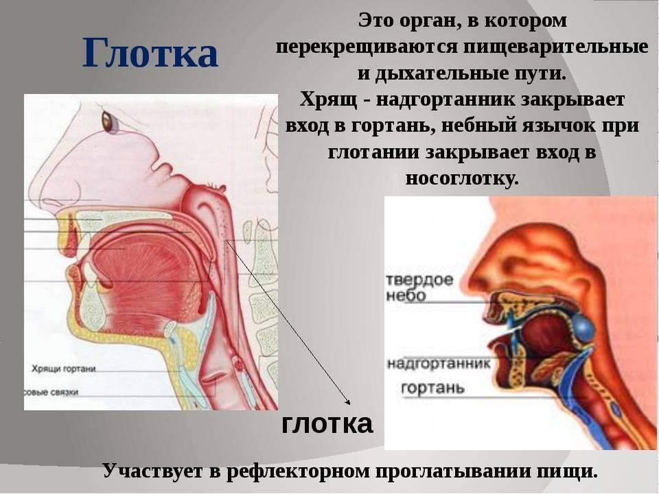 носоглотка функции