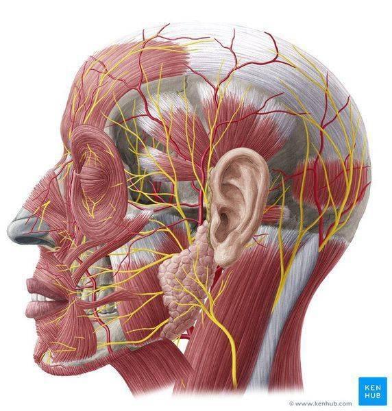 Неврит и невралгия тройничного нерва: причины, симптомы и лечение