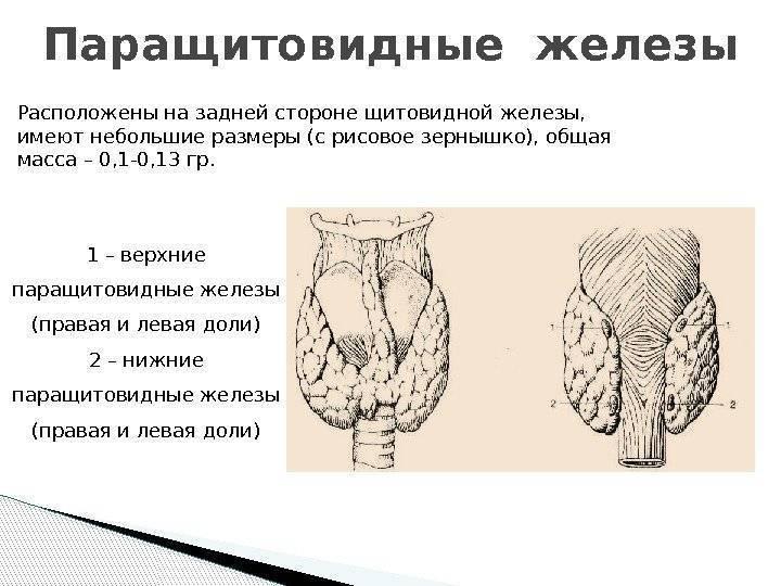 Аденома паращитовидной железы: что это такое, симптомы и лечение