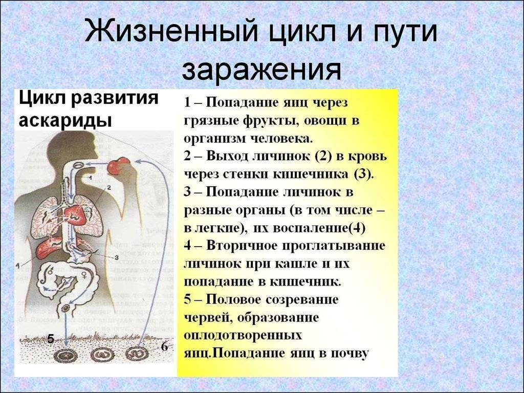 заражение аскаридозом чаще всего возможно через