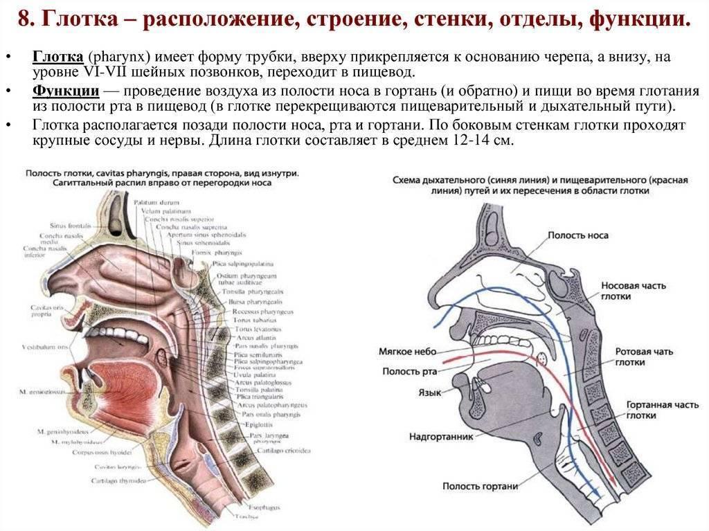 устройство носоглотки человека