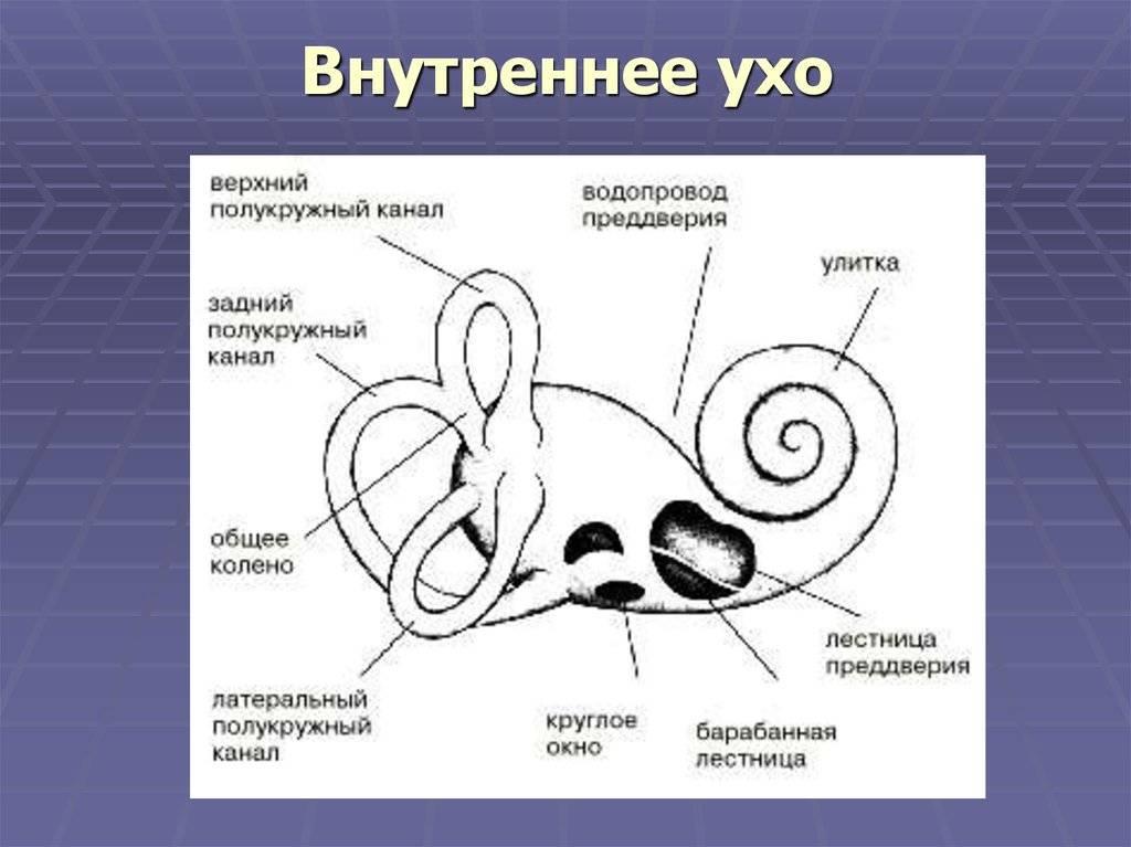 Анатомия человека: строение внутреннего, среднего и наружного уха