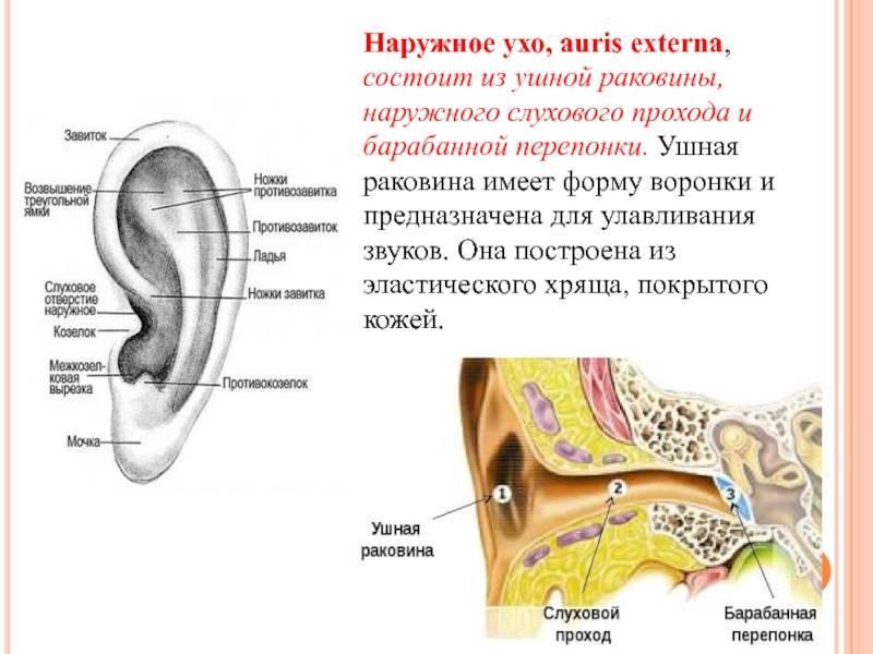 Болит ушная раковина снаружи лечение. инфекции и воспалительные процессы