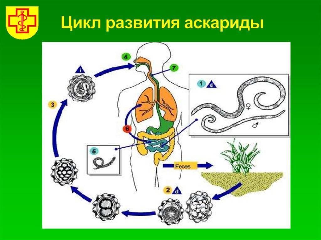 Аскарида в организме человека, где живет, чем питается?