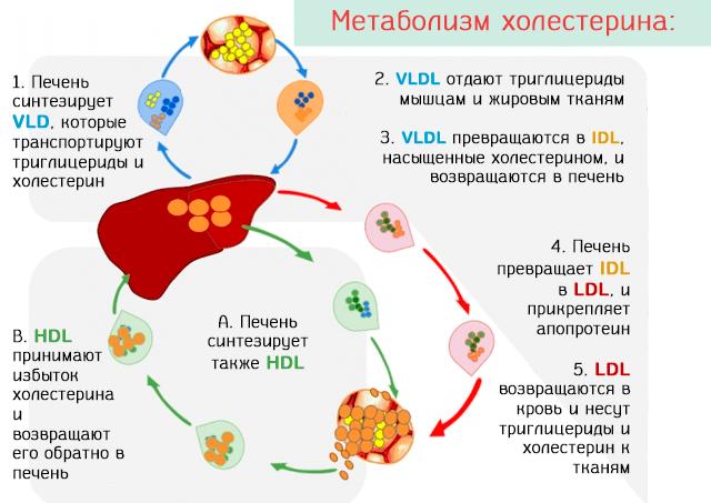 холестерин вырабатывается печенью