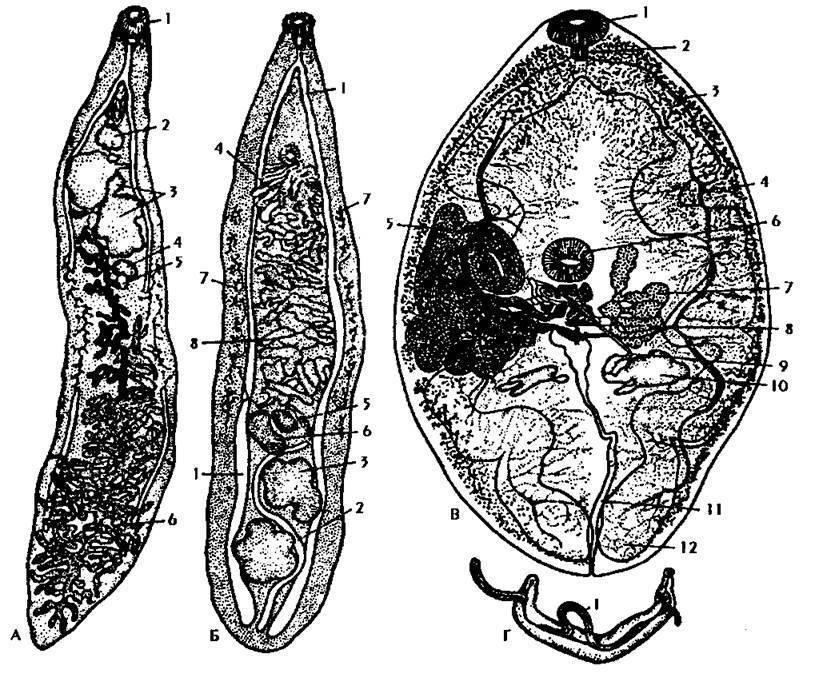 Ланцетовидный сосальщик у человека: симптомы и лечение