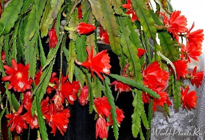 кактус эпифиллум от псориаза