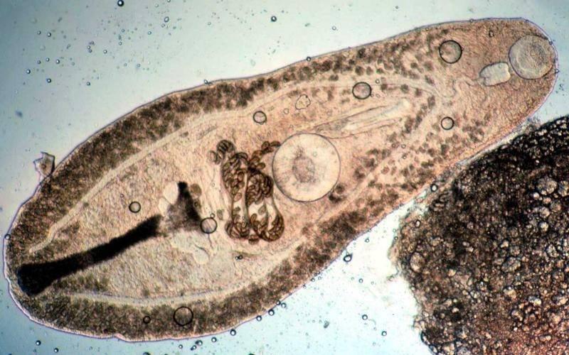 Класс нематоды круглые черви
