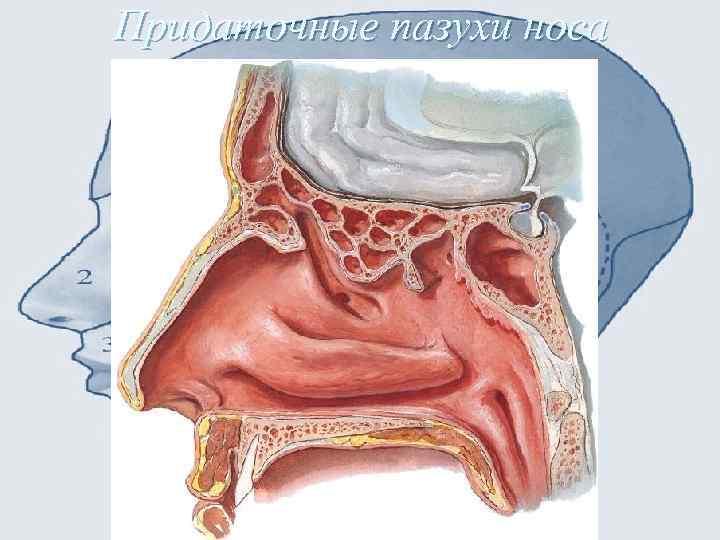Гайморовы пазухи. расположение, фото, анатомия, киста, воспаление, мицетома, болят, симптомы и лечение