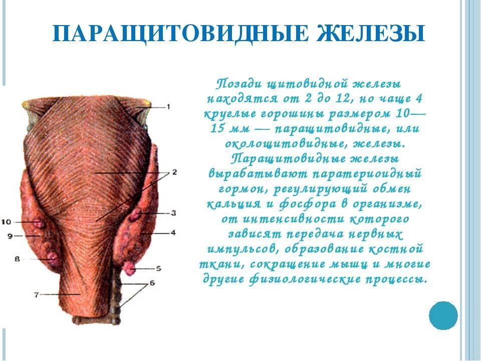 паращитовидные железы отвечают за контроль обмена