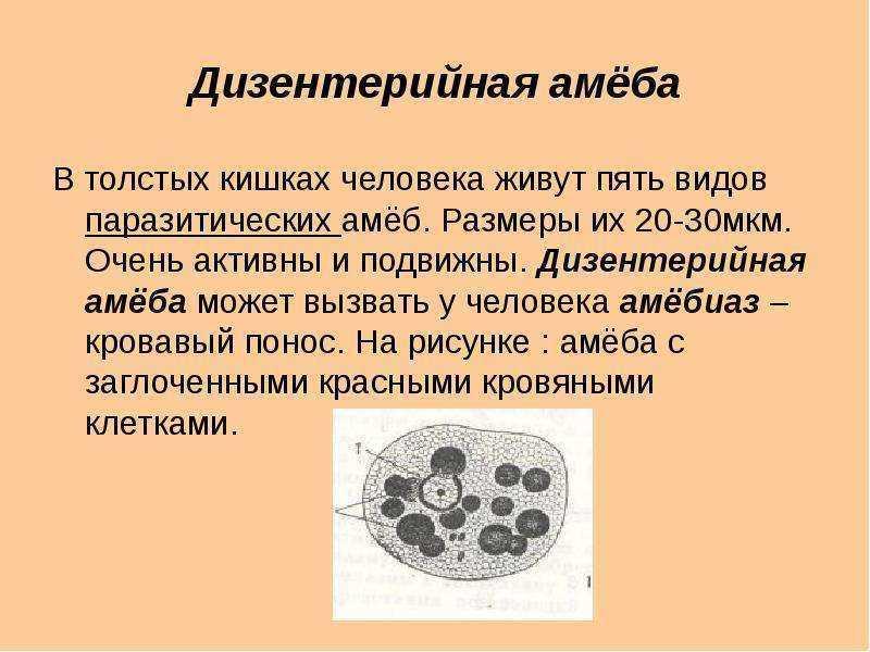 Дизентерийная амеба: жизненный цикл, строение, пути заражения
