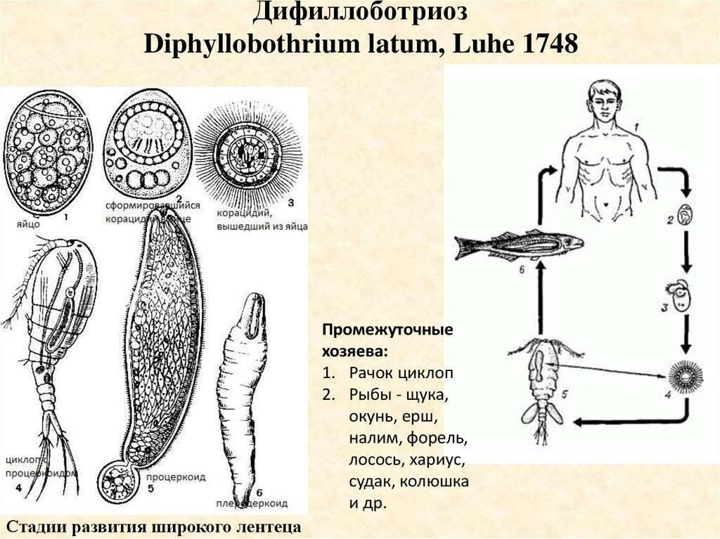 Дифиллоботриоз (лентец широкий)