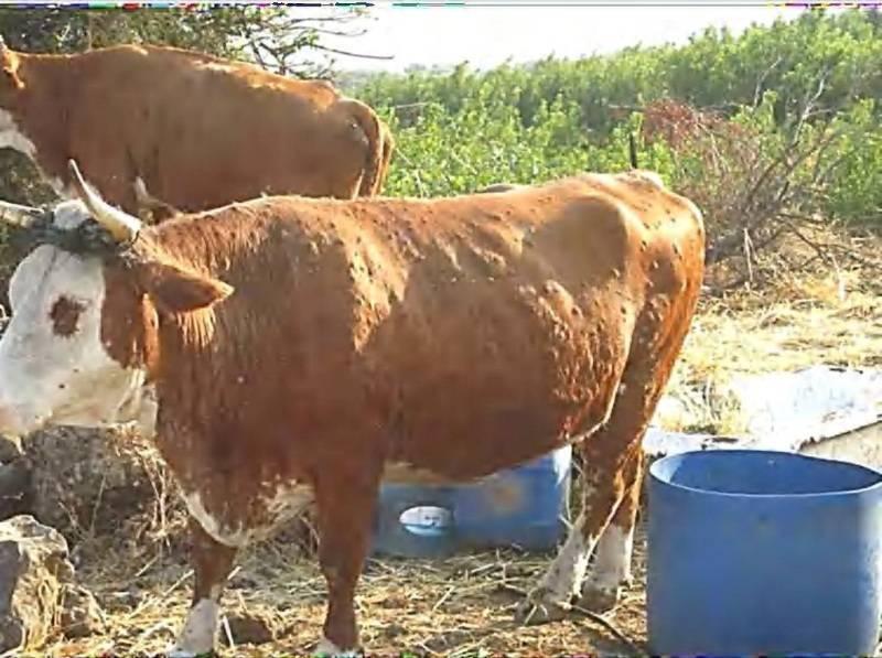 Лечение нодулярного дерматита у коров