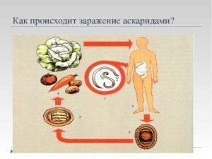 Как передаются аскаридыот животных и через пищу?