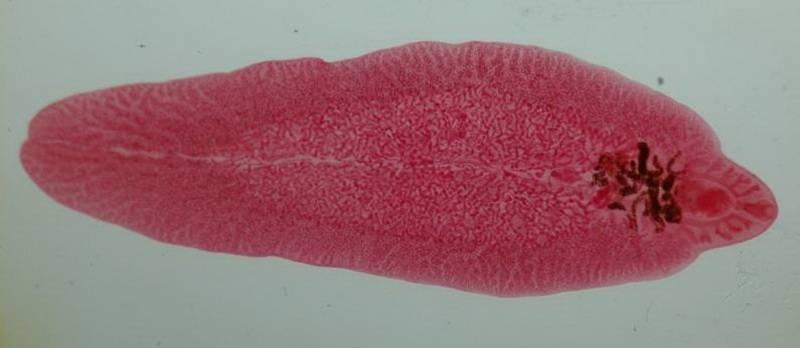 Паразиты трематоды как возбудители трематодозов: фото строения, общая характеристика, особенности развития, диагностика, профилактика и лечение препаратами