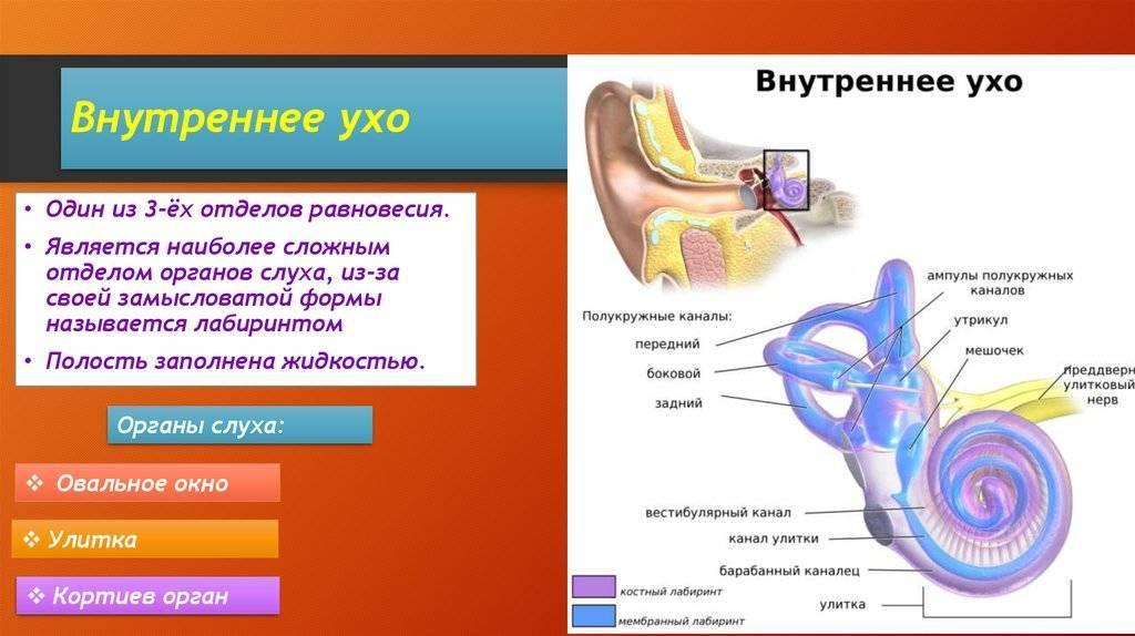 Внутреннее ухо — большая медицинская энциклопедия