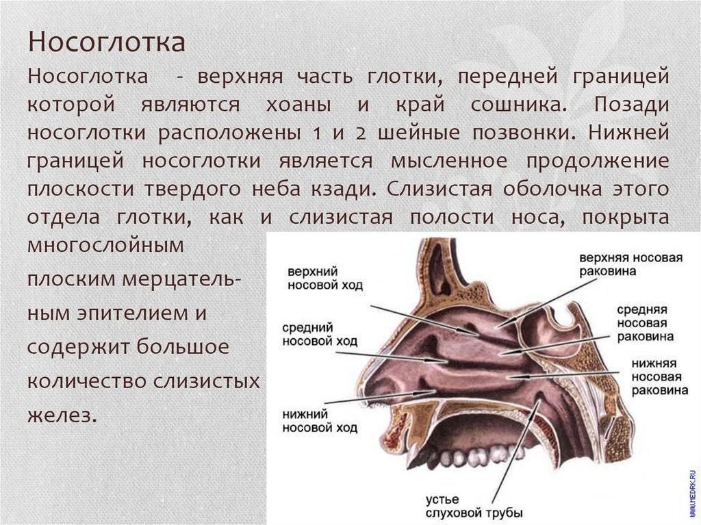 строение носоглотки человека
